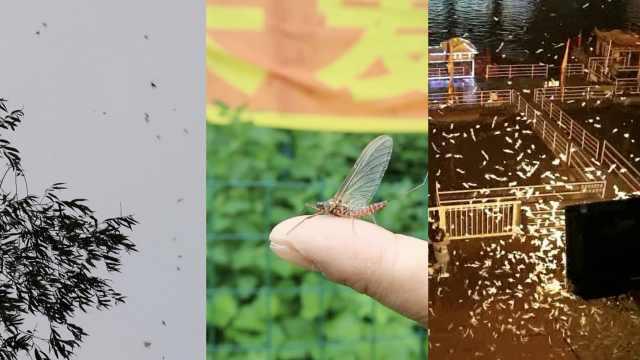 吉林江边出现大量蜉蝣密集,专家:朝生暮死,是益虫对人无害