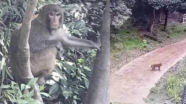 杭州一景区酒店有猴群出没,工作人员:最多一