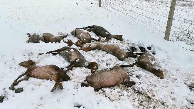 刚剪羊毛就遭大雪,新疆一牧区一夜冻死494头牲畜