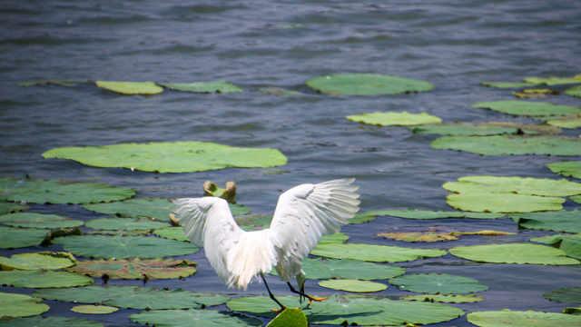 清新唯美!玄武湖上白鹭群飞
