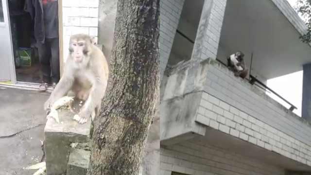 又气又笑!猴哥进村混吃混喝半个月,还和民警