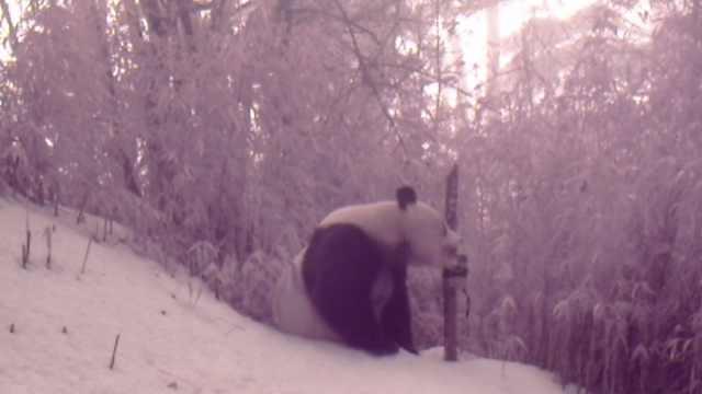 四川马边拍到野生大熊猫抱啃仪器撒欢,数量4年