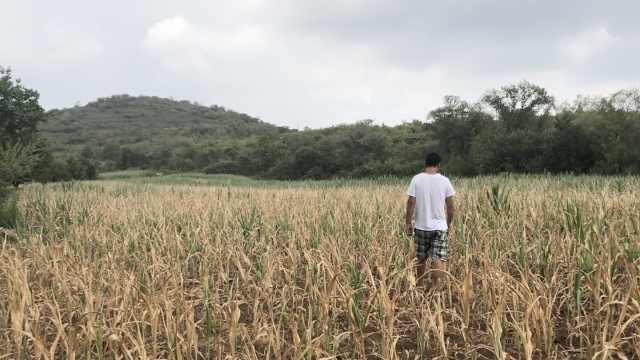 锦州现有气象记录以来最严重干旱,玉米枯萎绝收