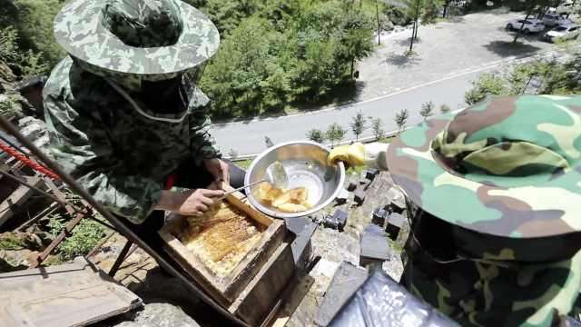 神农架养蜂人乘吊索上悬崖取蜜:纯正优质蜂蜜,常有黑熊偷吃