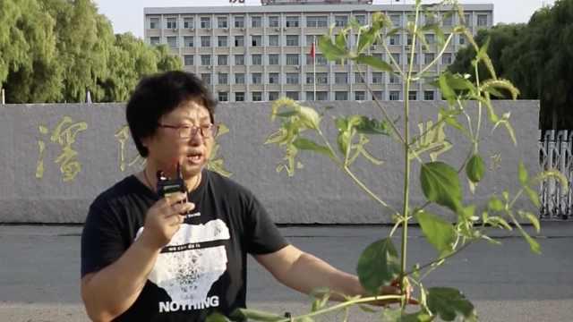 农大教授解读吉林刺萼龙葵:东北还有多种入侵物种, 能致哮喘