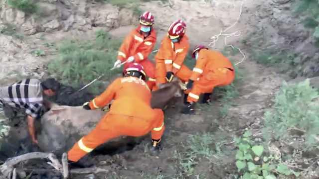 黄牛河边饮水深陷泥潭两天,牧民急求消防救援:多人合力拽出