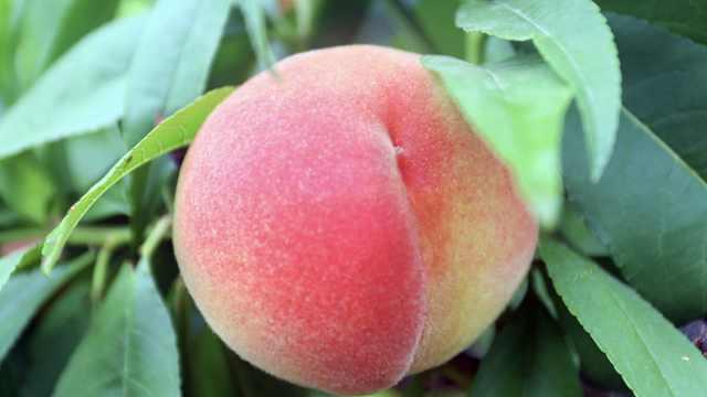 兰州1.3斤桃王拍出19888元高价,桃农:手一摸就知道桃子重量