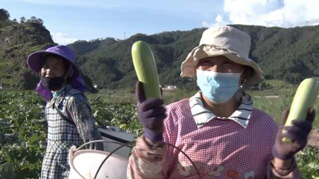 高原生长出生态的小瓜,一路狂奔到广澳人民餐桌上
