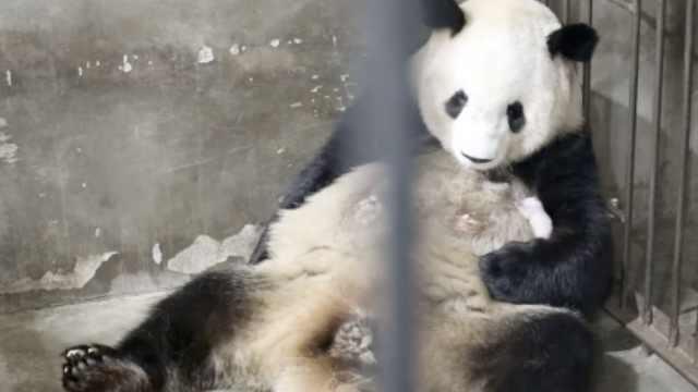 """秦岭大熊猫研究中心一周添3只大熊猫宝宝,实现""""四世同堂"""""""