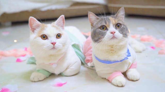 给2只情侣猫过七夕,连猫都有对象了,你还没有?
