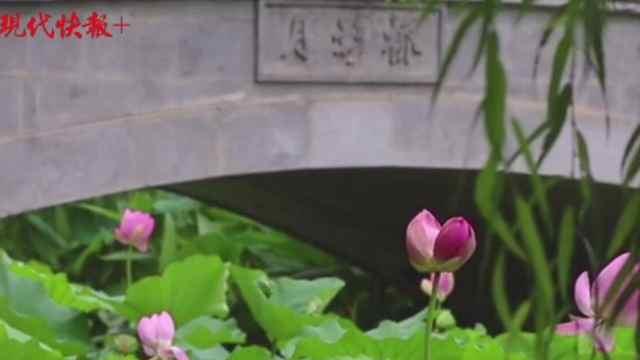 超浪漫!玄武湖公园罕见并蒂莲含苞待放