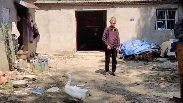 老人把母亲遗留下的大白鹅养15年:当成宠物了,多少钱也不卖