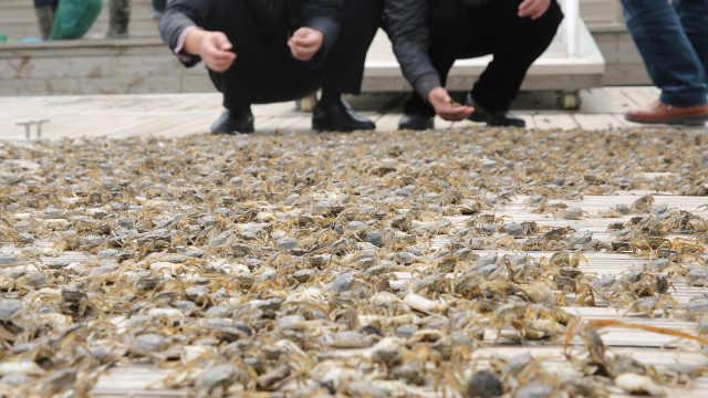 直播:70万大军横行,比利时大闸蟹入侵泛滥