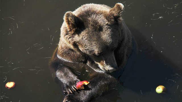 苹果祖籍在新疆?人们吃到苹果,最应该感谢新疆棕熊!