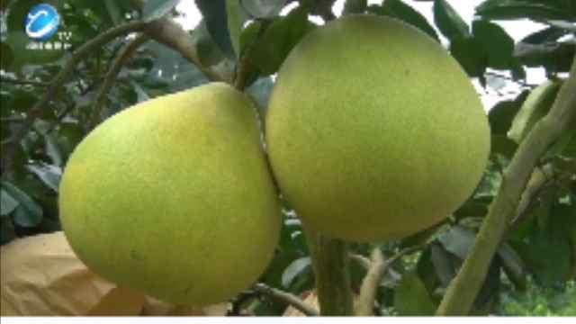 桐梓县小水乡的黄金蜜柚,即将上市啦!