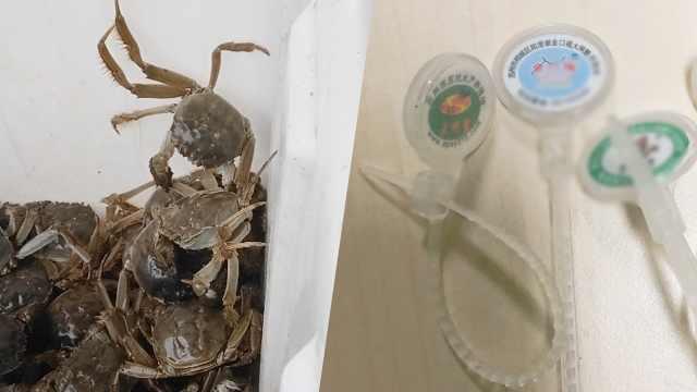 实地探访|外地蟹运到阳澄湖过水,价格猛涨三倍