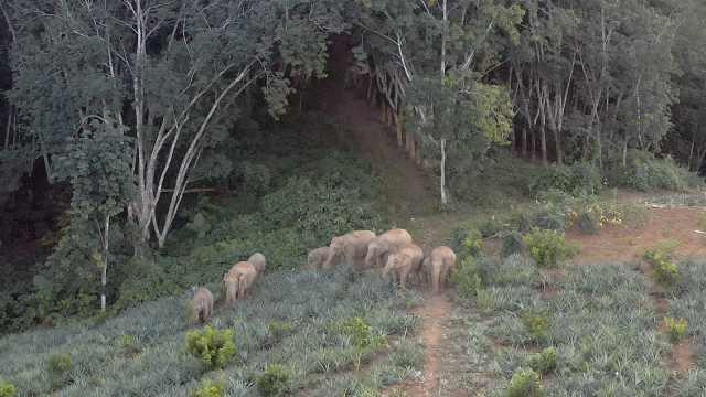 云南边境村寨人象故事:当野象伤人之后……