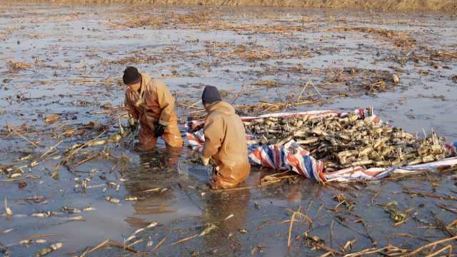 黄河挖藕人电锯破冰挖菜:零下十几度,喝枸杞水取暖