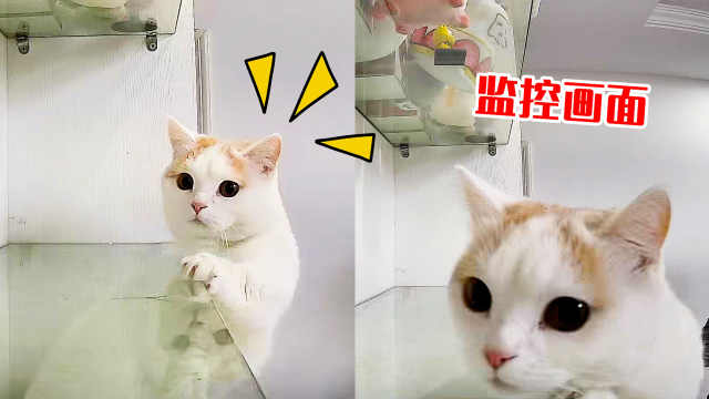 猫咪爬高台偷吃,被监控拍下罪行,猫:逃不掉了!