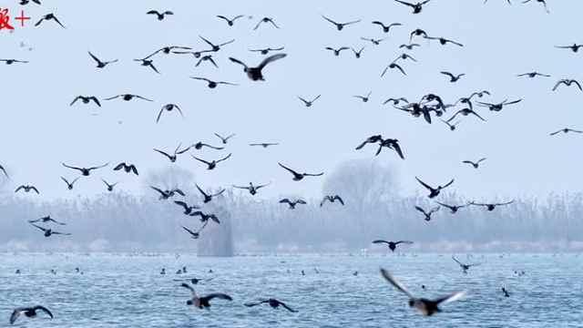 """江苏这处湖荡湿地,拥有""""百万水鸟飞平湖""""的美景"""