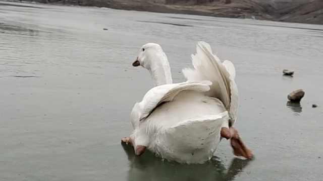 大白鹅被冻湖面无助挣扎,男子趴冰匍匐施救:生命值得尊重