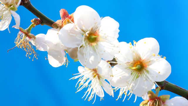 从化流溪河梅花开了,静待君来赏花