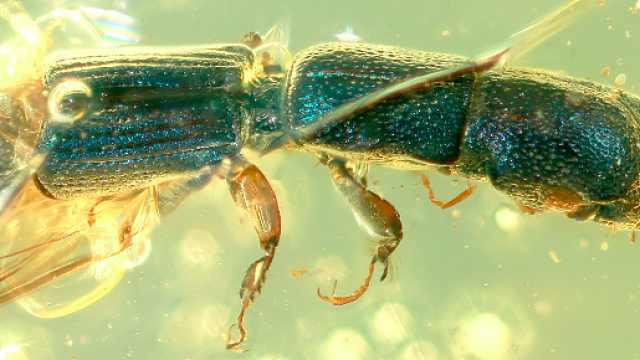琥珀化石揭秘一亿年前昆虫真实色彩:可运用到人类社会生产