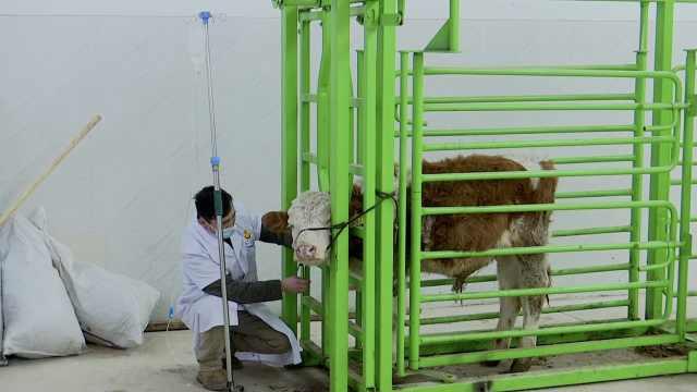 """内蒙古大草原建成""""动物医院"""",牛羊住院还有专人陪护"""