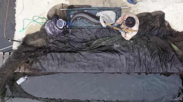 """鲟鳇鱼跨省养殖一条能卖到14万,产的鱼子被称""""黑色黄金"""""""
