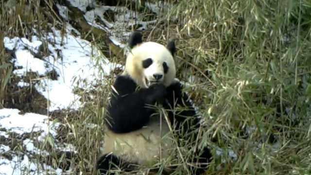"""野生大熊猫雪地做""""吃播"""",两次被拍下,憨态可掬惹人爱"""