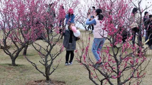 西安最大梅园三千株梅花盛开,每日万人打卡记录春天