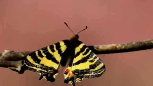 气温节节攀升,早春蝴蝶提前半个月羽化