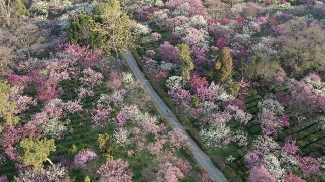 是春天的色彩!南京梅花山进入最佳观赏期