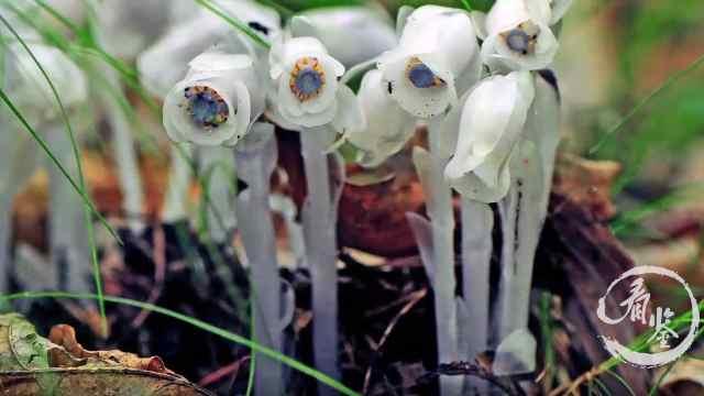 生长在腐叶上的花朵,为何晶莹剔透?