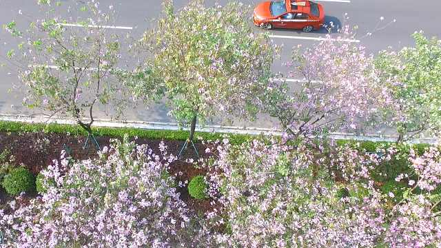 先开花后长叶,广州街头万株紫荆花绽放