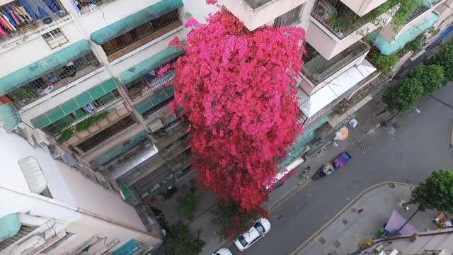广州一株簕杜鹃长到9层楼高,每逢花期一瀑绯红