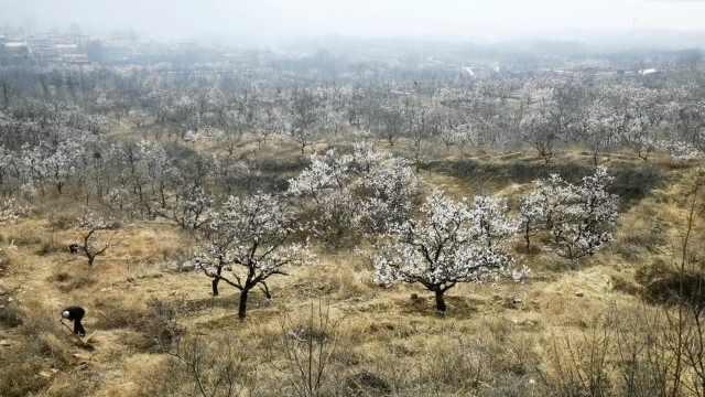 三月赏花正当时,济南一村庄1500亩杏花盛开