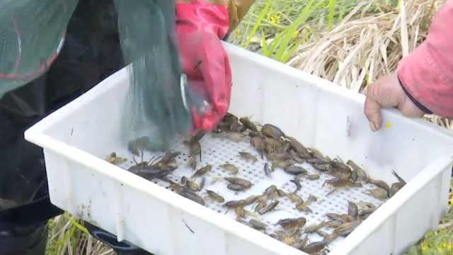 湖北潜江1斤小龙虾苗卖到20元,高价入市还一虾难求
