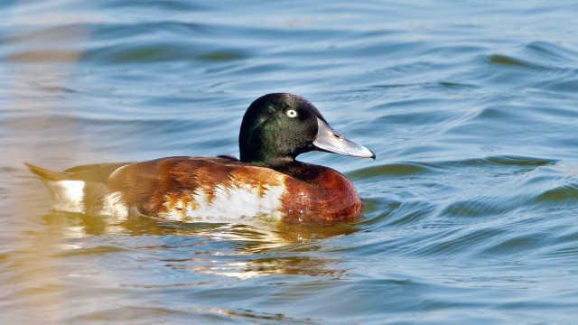 极危候鸟青头潜鸭有多珍稀?近30年来首次现身广东