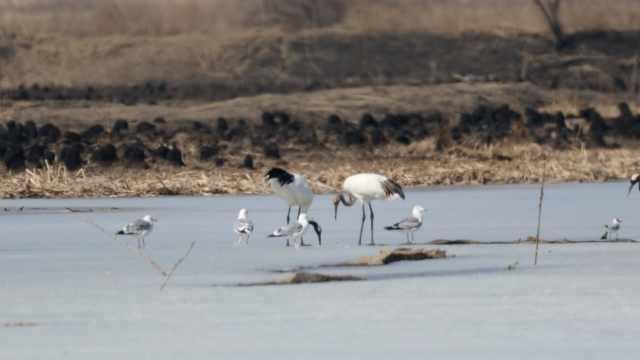 数十万只候鸟进入吉林珲春,首次发现白枕鹤种群