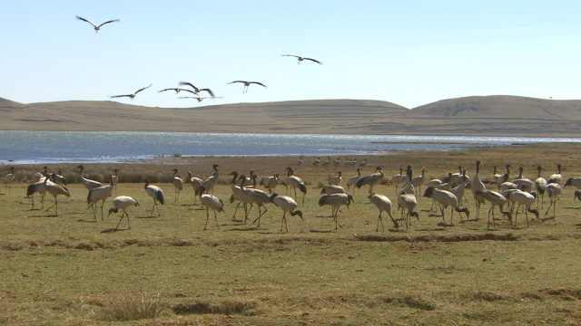 全球1/6黑颈鹤在此中转,7000村民迁出为它们腾地