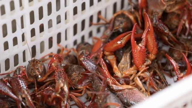 湖北潜江小龙虾开捕首日出货5000斤,大虾产量增加3倍