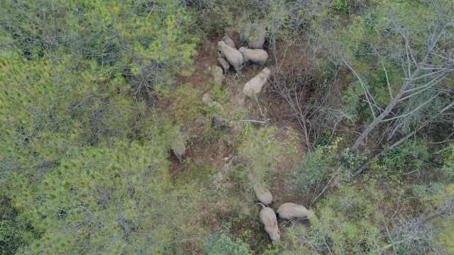 野象一家17口春游掀掉民居,一顿吃掉60棵芭蕉树
