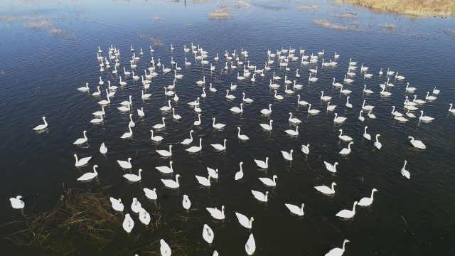 张家口:春暖河开天鹅归