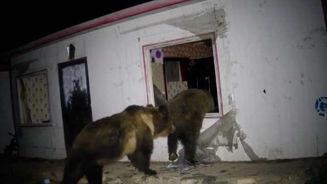 实拍棕熊到牧民家翻窗觅食,小院竟变熊群聚会点