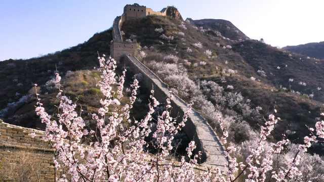 春天里最美画卷!河北金山岭长城万亩杏花绽放