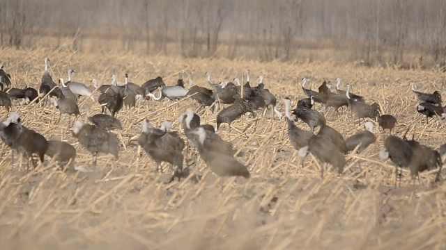 欧亚鸟类的大通道!千只白头鹤飞30多小时来东北停歇