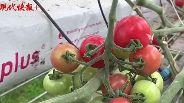 物联网、大数据、人工智能……番茄可以这样种