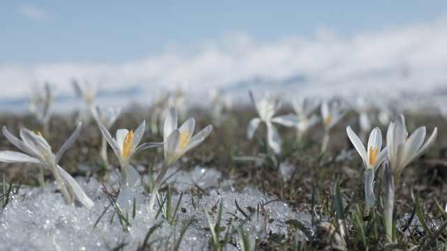 新疆万亩野百合破冰盛开,延时摄影记录绽放瞬间