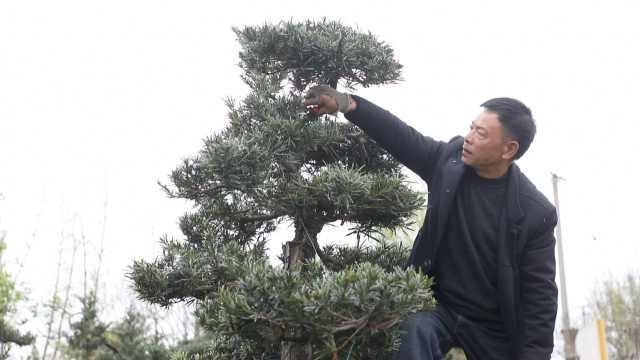 """""""川西花王""""之子破译盆景致富密码:升值靠树桩,400岁紫薇200万"""